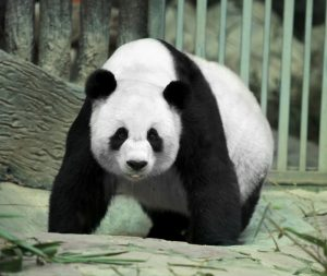 Giant Panda: Cool Facts About Pandas