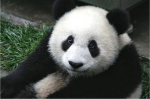 Giant Panda cub at 7 months