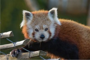 Red Panda: Facts About Pandas