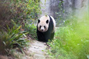 Giant Panda Chengdu: History of the giant panda