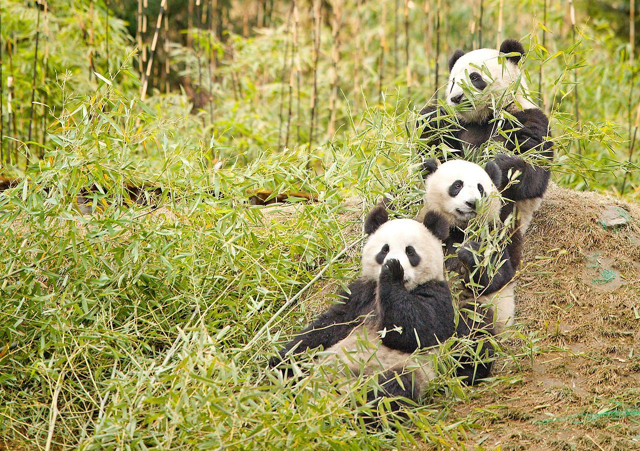 Giant Pandas chewing bamboo