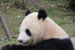 A Panda Chewing Bamboo. Panda attacks show how fearful their bite is