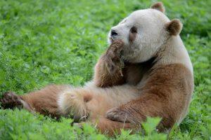 Qinling Bear: Giant Panda Subspecies