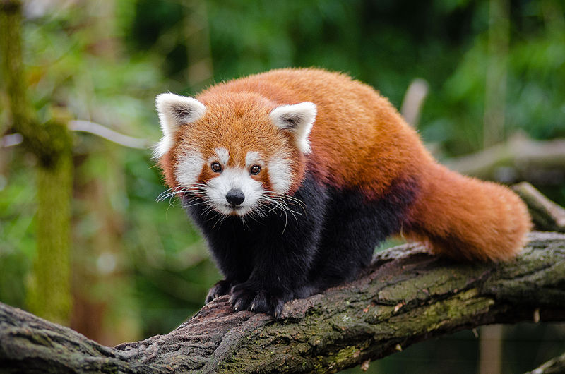 Adult Red Panda in a tree