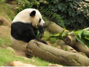 Adult Panda At Ocean Park: See Giant Pandas