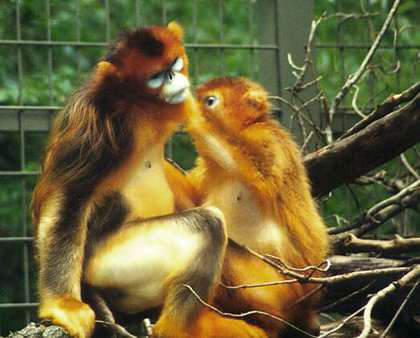 Golden Snub-Nosed Monkeys: Giant Panda Conservation