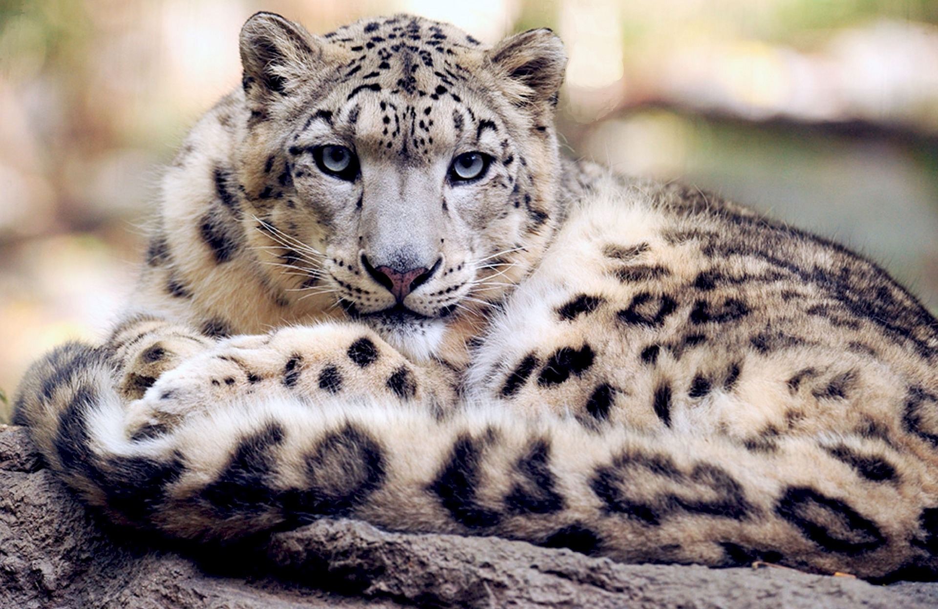 Snow Leopard: Natural Predators of Giant Pandas