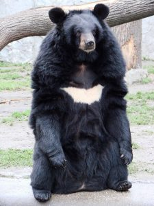The Asiatic or Asian Black Bear