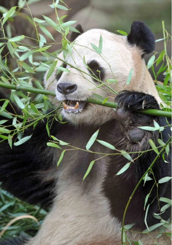 Yang Guang Chewing Bamboo In His Enclosure At Edinburgh Zoo: Giant Panda