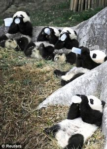 Captive Pandas Feeding: Giant Panda Breeding Program