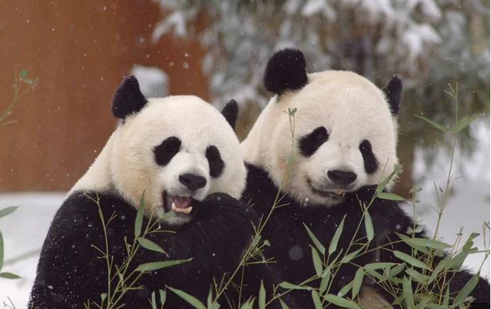 Giant Panda Pair at the Smithsonian's National Zoo : Giant Panda Reproduction