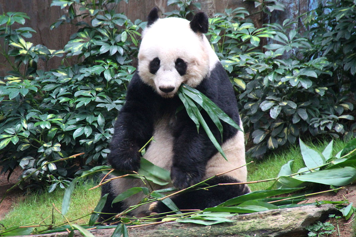 Jia Jia The Oldest Giant Panda Ever In Captivity : 7 oldest giant pandas