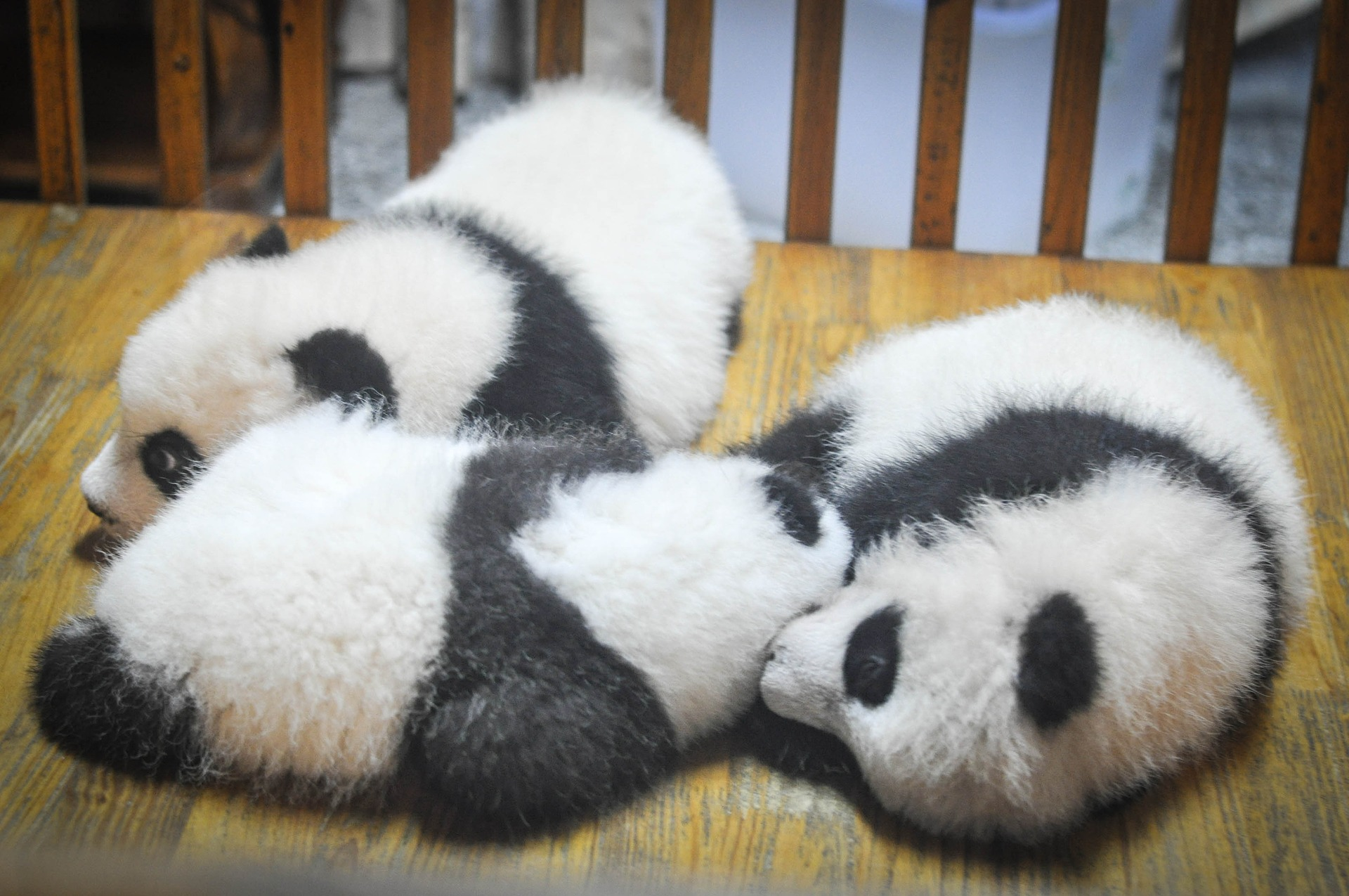 Panda Cubs: Giant Panda Life Cycle