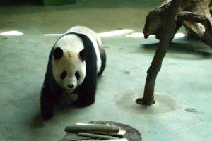Giant Panda At Taipei Zoo : Panda Diplomacy