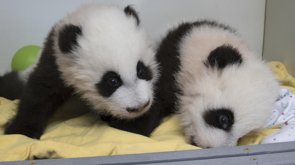 Giant Panda Cubs At Zoo Atlanta: Panda Nanny