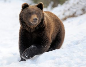 Brown bear in winter: differences between giant pandas and other bears