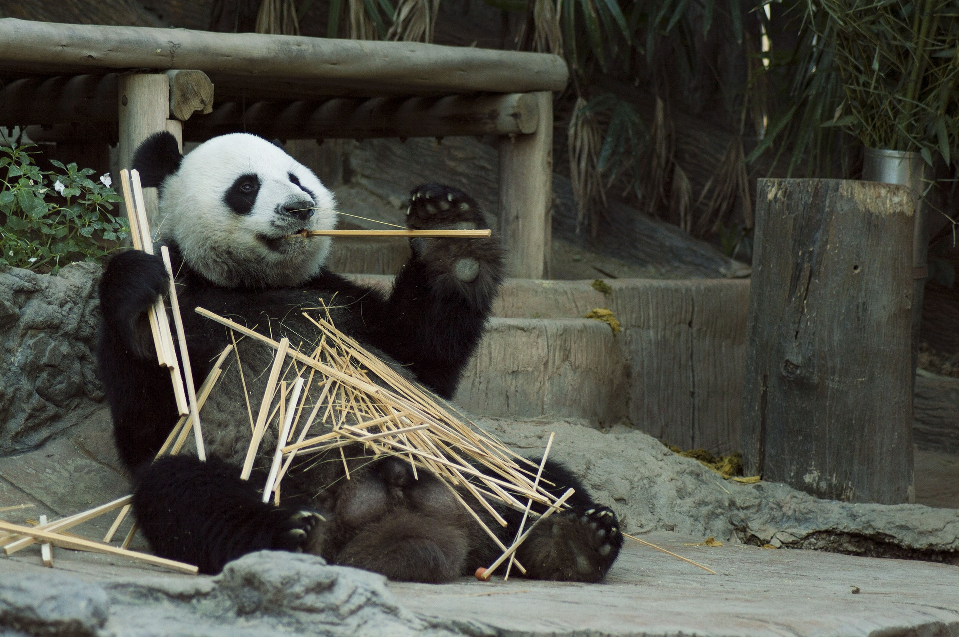 Giant Pandas spend most of their day chewing bamboo