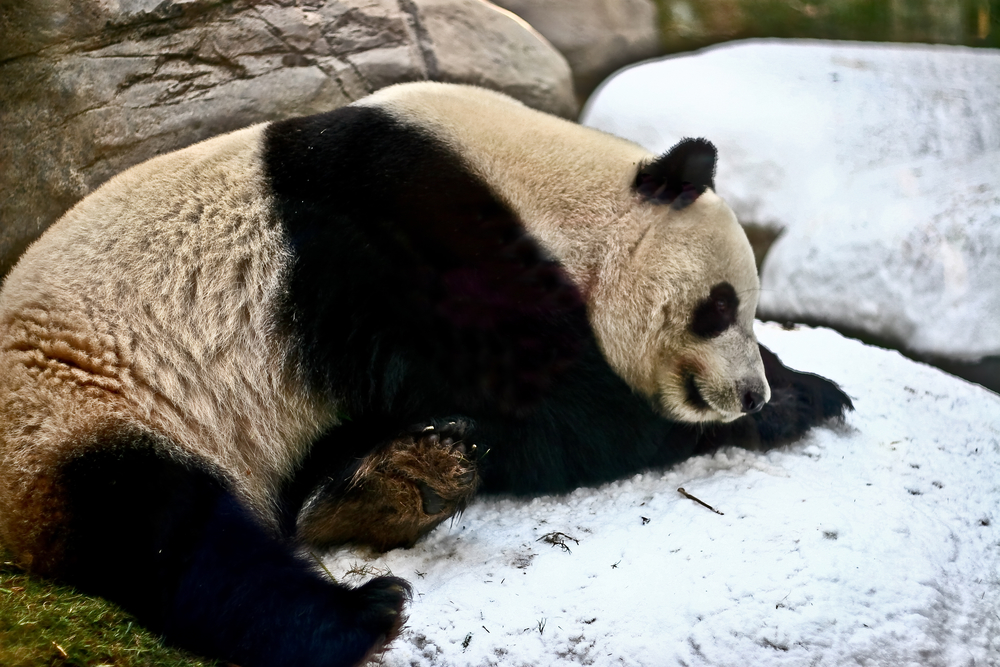 A Panda in snow: Giant Pandas black and white coloring
