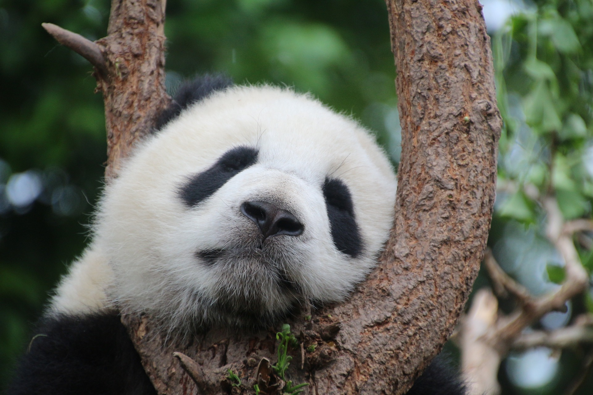Sleeping Panda: Do Giant Pandas Hibernate?