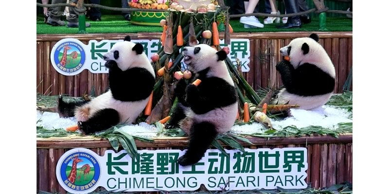 Triplet Cubs At Chimelong Park : See giant pandas