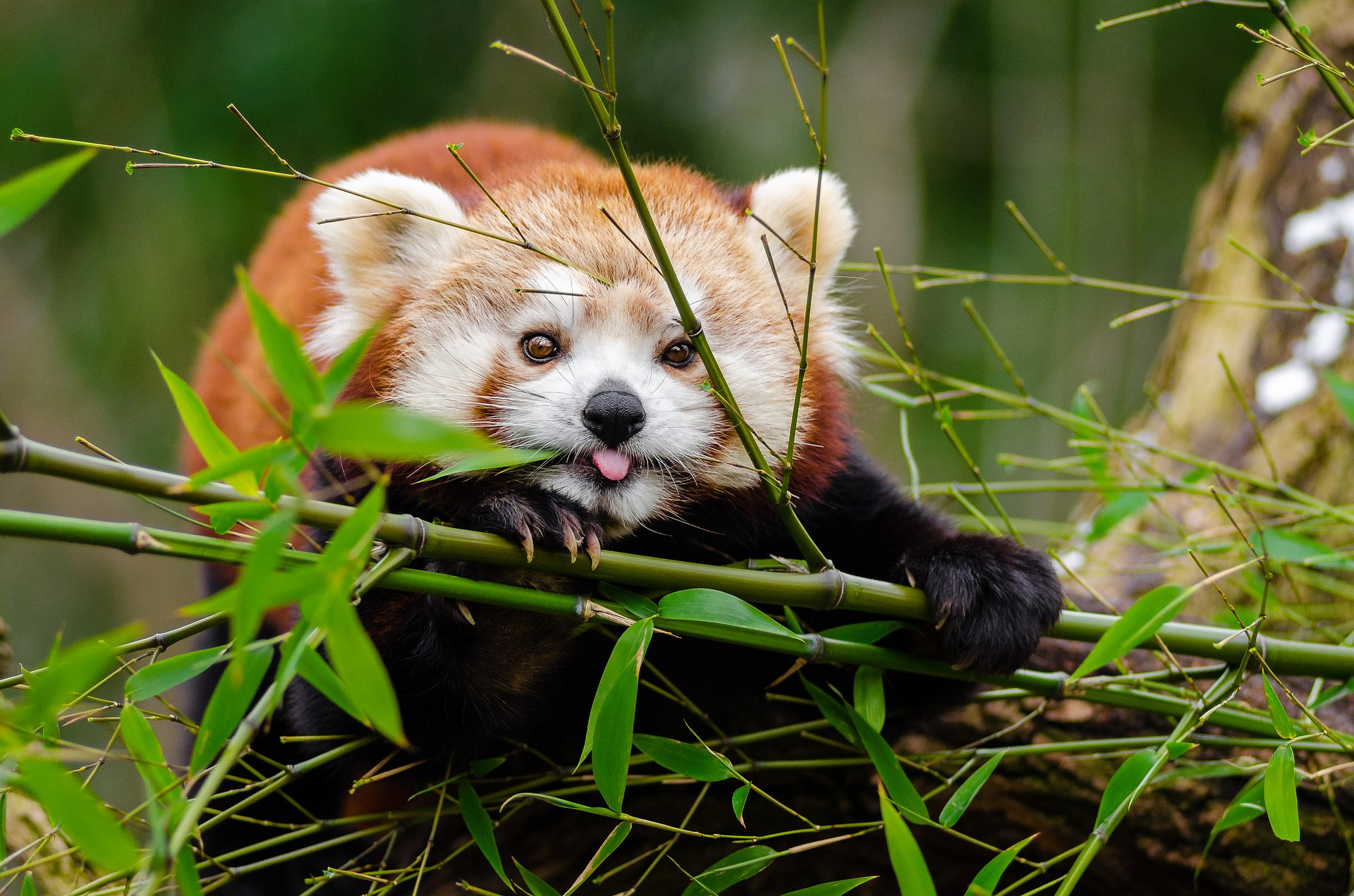 Red Pandas Matter Too